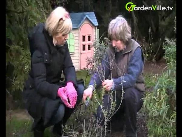 Perovskia atriplicifolia - Russian Sage - how to prune