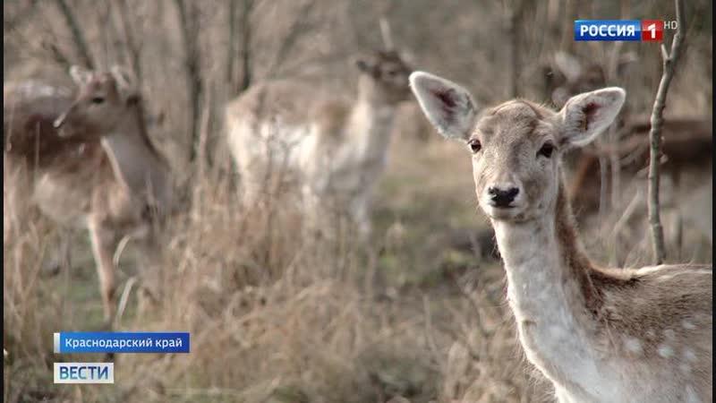 В Краснодарском крае планируют за несколько лет восстановить популяцию ланей