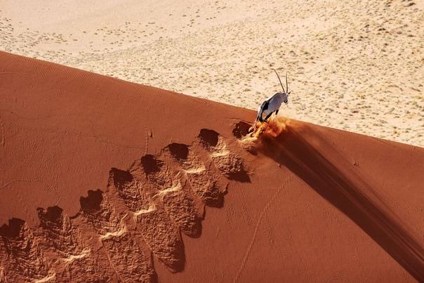 Пустыня Намиб и антилопа.