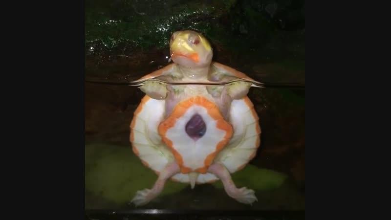 Чудо природы черепаха альбинос с открытым сердцем ч 1