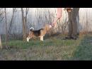 Beagle boy JULE VERNE Kattyval (12 weeks)