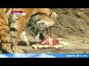 В нижегородском зоопарке в День тигра хищников поздравили праздничным тортом. День Тигра 29 июля