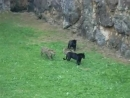 Krachtmeting tussen panters en jaguars BBC Earth