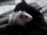 Кошка лижет свинью