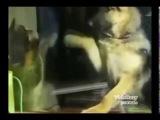 Смелый кот дерётся с собакой Brave cat fights with a dog