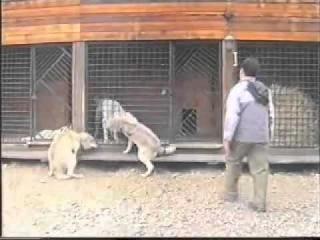 Алабай подчиняет себе волков