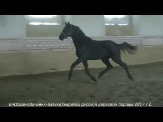 Висбаден(Ва-Банк-Базука)жеребец русской верховой породы 2017 г.р.