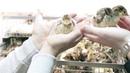 Как получить лучший вывод яиц в инкубаторе Секреты инкубации индюшки