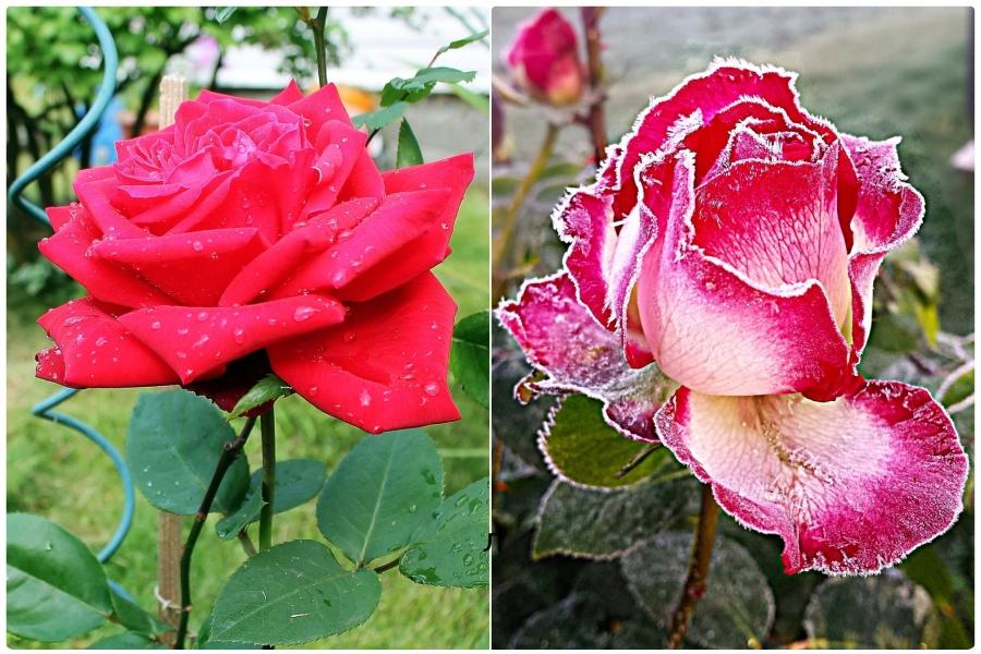 Плюсы и минусы весенней и осенней посадки роз