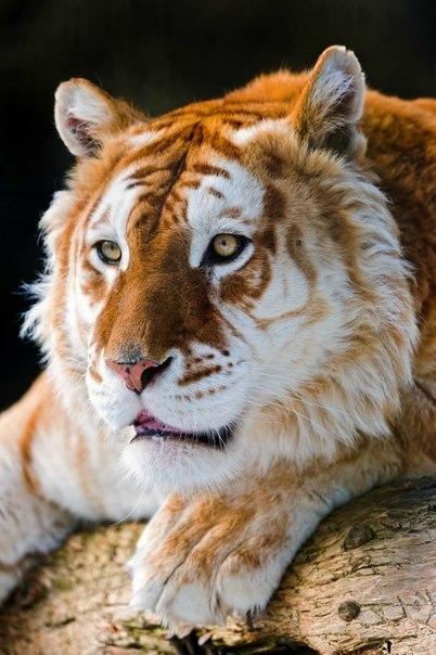Золотой тигр В мире существует удивительные исключения в тигровом окрасе и этот окрас золотой. Золотые тигры появились в начале прошлого века. Учёные пока не дали четкого объяснения этому событию. Сегодня в неволе в мире живет тридцать тигров с золотым окрасом.