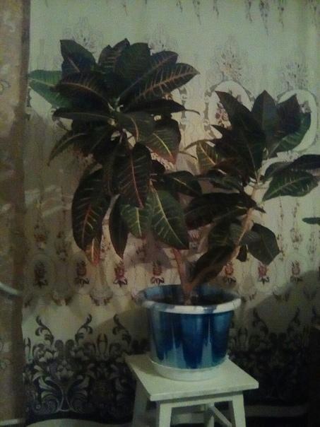 Продам цветок Кротон