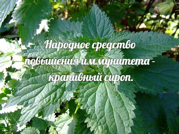 Народное средство повышения иммунитета - крапивный сироп.