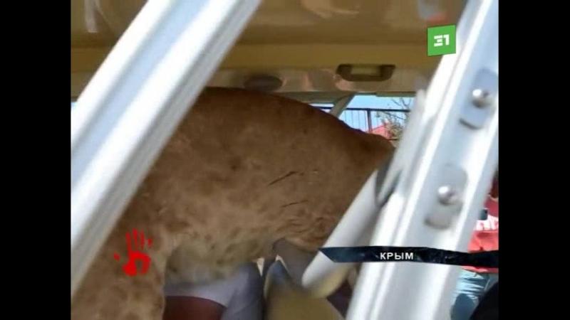Обнимается, мурлыкает и фотографируется. Спасенная челябинским зоозащитником львица покорила сердца Крымчан.