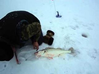 Большой судак на зимней рыбалке.