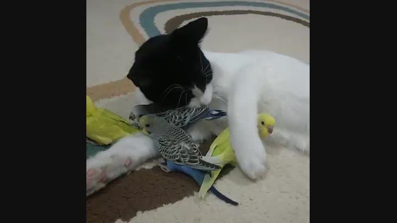кот обнимает попугаев