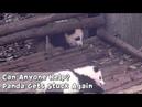 Can Anyone Help? Panda Gets Stuck Again | iPanda