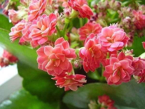Как ухаживать за цветущим каланхоэ.