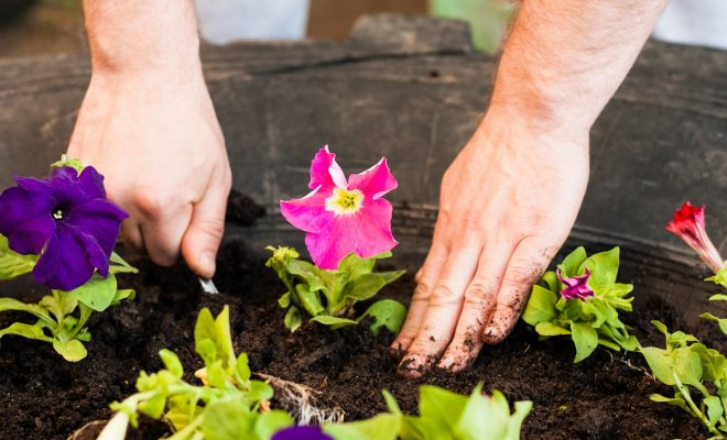 2 легких способа сохранить петунию до весны.