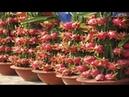 WOW! Most Amazing Fruit Farming Technique - Dragon fruit