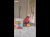 Умный попугайчик выполняет трюки