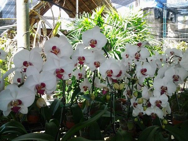 В саду орхидей. Таиланд.