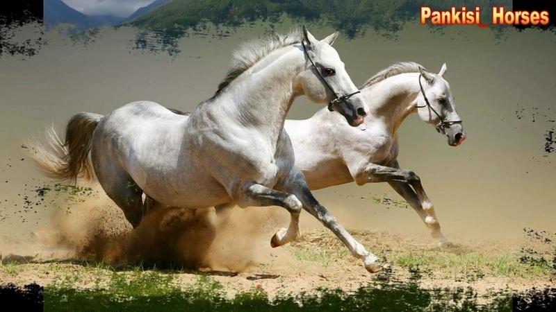самые красивые арабские лошади ყველაზე ლამაზი არაბული ცხენები