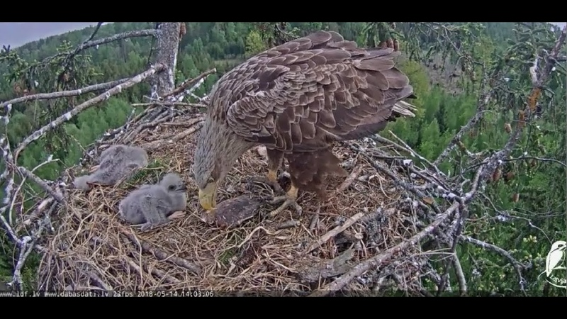 Jūras ērglis 1~Little one gets a separate feeding~13h59m 2018/05/14