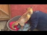 Спасенная людьми лиса стала совсем ручной и ведет себя как собака. Видео прикол