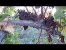 Сгнивший виноград на полях агрофирмы Золотоая балка в Севастополе
