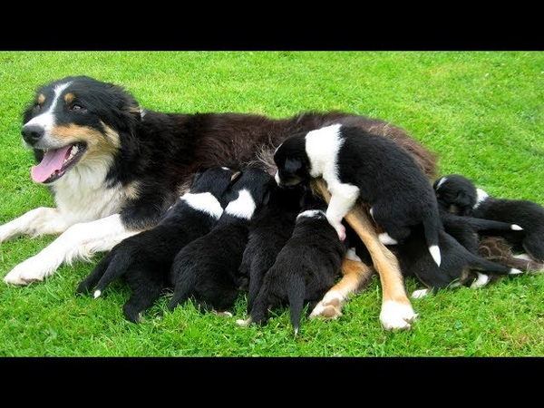 Mother Border Collies gives birth to cute puppies- Life of Border Collies dog breed