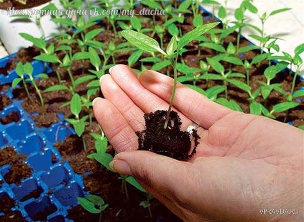 Чем обработать семена перед посадкой. Чтобы все ваши труды не пропали даром и вы, не дай бог, не остались без урожая, семена перед посевом нужно обязательно обеззараживать. Как обработать семена