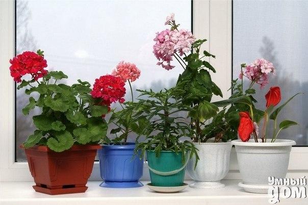 🌞⛅Расставляем комнатные растения по сторонам света ⛅🌞 Принося в дом растение, мы не всегда задумываемся, подойдет ли ему та сторона света, на которую выходят наши окна. Спонтанная покупка, подарок друзей, — и вот мы стоим с горшком в руках, думая, куда же пристроить новенького. И не всегда это заканчивается удачно для растения. Между тем, для любого окна найдутся многочисленные растения, которым именно в таких условиях будет комфортно. Хорошо, если в доме окна выходят на разные стороны, тогда…