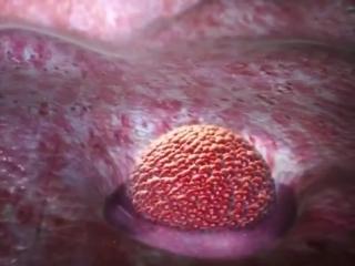 процесс зачатия, от овуляции до прикрепления эмбриона к матке