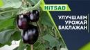 Правильная Подкормка Баклажан 🍆 Улучшение урожая Баклажан 🍆 Советы От Хитсад ТВ