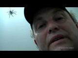 Большой паук (Huntsman spider) атакует папу - Big Spider Attacks Daddy