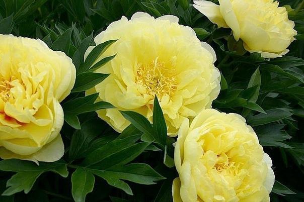 пионы. секреты пышного цветения огромной популярностью среди цветоводов пионы пользуются не только из-за своей красоты, но и потому, что способны легко размножаться, а также могут достаточно