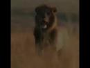 Лев, львы дикий мир плюс красивый нашид ....mp4