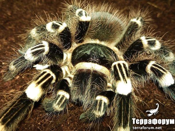 Аcanthoscurria geniculata