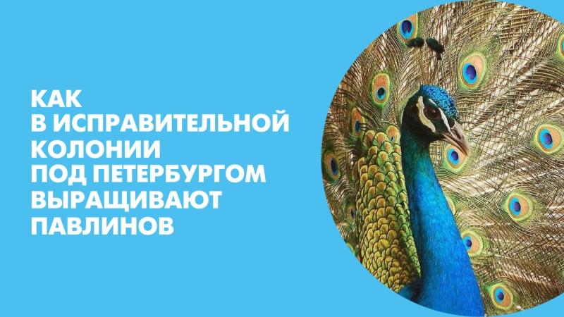 Как в исправительной колонии под Петербургом выращивают павлинов