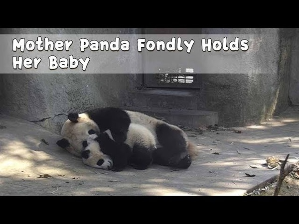 Mother Panda Fondly Holds Her Baby iPanda