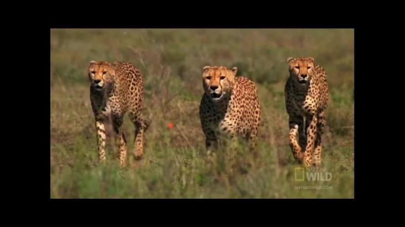 Гепарды на охоте_