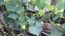 Огурцы в теплице в сентябре Как растянуть период плодоношения