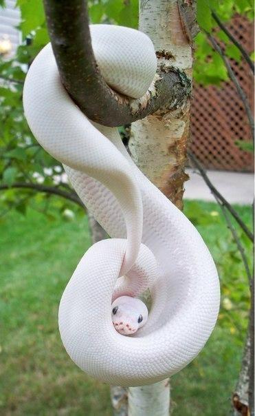 Питон-альбинос.