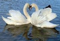"""Предпросмотр схемы вышивки  """"Весенние лебеди """".  Весенние лебеди, лебедь, любовь, вода, озеро, весна."""