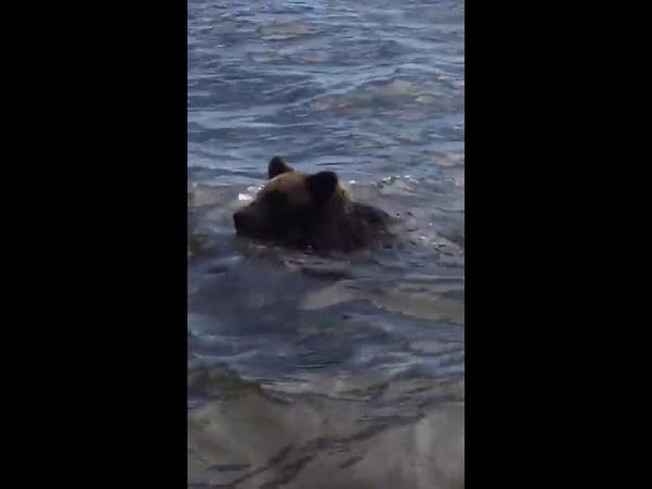 Николаевск-на-Амуре, медведь плывет через Амур