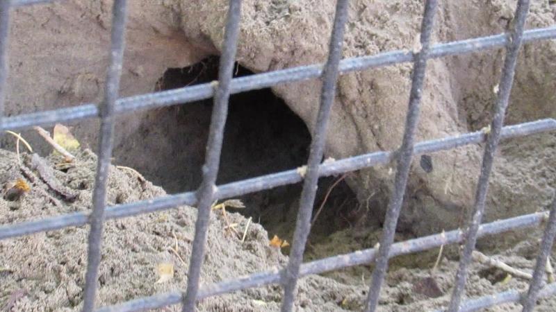 Кустарниковые собачки роют норы 28.09.18