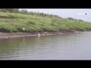 Гниющие туши оленей на реке Хатанга