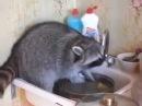Енот Потап моет посуду / Potap raccoon washes dishes