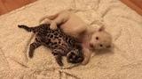 Jaguar and white lion cubs. Ягуарчик и львенок