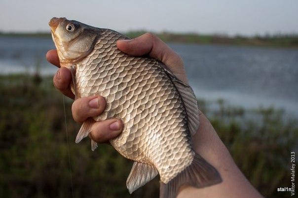 Болезни рыб опасные для человека